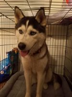 Alaskan Husky Puppies for sale in Frederick, MD 21702, USA. price: NA