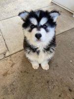 Alaskan Husky Puppies for sale in San Diego, CA, USA. price: NA