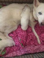 Alaskan Husky Puppies for sale in Amesbury, MA 01913, USA. price: NA