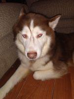 Alaskan Husky Puppies for sale in Orlando, FL, USA. price: NA