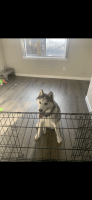 Alaskan Husky Puppies for sale in 1611 Lombardy Ln, Balch Springs, TX 75180, USA. price: NA
