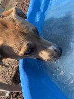 Alaskan Husky Puppies for sale in Nashville, TN, USA. price: NA