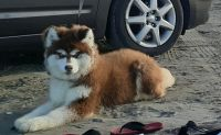 Alaskan Husky Puppies for sale in Auburn, WA, USA. price: NA