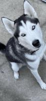 Alaskan Husky Puppies for sale in Miami Gardens, FL 33015, USA. price: NA