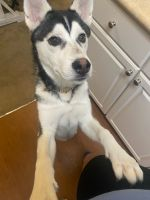 Alaskan Husky Puppies for sale in 4100 Weeks Park Ln, Wichita Falls, TX 76308, USA. price: NA