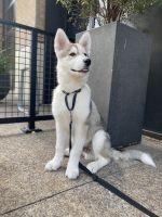 Alaskan Husky Puppies for sale in Downtown San Diego, San Diego, CA, USA. price: NA