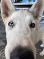 Alaskan Husky Puppies for sale in North Hollywood, Los Angeles, CA, USA. price: NA