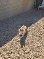 Alaskan Husky Puppies for sale in Las Vegas, NV 89101, USA. price: NA