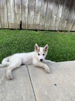 Alaskan Husky Puppies for sale in Fullerton, CA, USA. price: NA