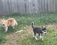 Alaskan Husky Puppies for sale in 9301 Dairy View Ln, Houston, TX 77099, USA. price: NA