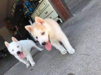 Alaskan Husky Puppies for sale in Glendale, AZ, USA. price: NA