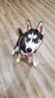 Alaskan Husky Puppies for sale in Warner Robins, GA, USA. price: NA