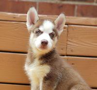 Alaskan Husky Puppies for sale in 2632 Susten Ln, Richmond, VA 23224, USA. price: NA