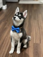 Alaskan Klee Kai Puppies for sale in Redmond, WA, USA. price: NA