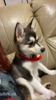 Alaskan Klee Kai Puppies for sale in Plantation, FL, USA. price: NA