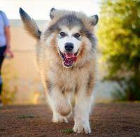 Alaskan Malamute Puppies for sale in Tempe, AZ, USA. price: NA