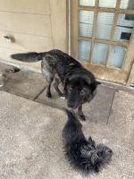 Alaskan Malamute Puppies for sale in Mesquite, TX, USA. price: NA