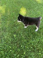 Alaskan Malamute Puppies for sale in Lyons, NY 14489, USA. price: NA