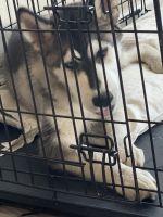 Alaskan Malamute Puppies for sale in Vancouver, WA, USA. price: NA