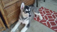 Alaskan Malamute Puppies for sale in Sebastian, FL, USA. price: NA