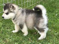 Alaskan Malamute Puppies for sale in New Castle, PA, USA. price: NA