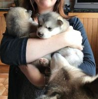 Alaskan Malamute Puppies for sale in Florence St, Denver, CO, USA. price: NA