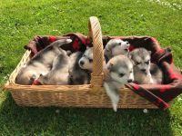 Alaskan Malamute Puppies for sale in Fairhope Ave, Fairhope, AL 36532, USA. price: NA