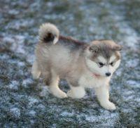 Alaskan Malamute Puppies for sale in CA-1, Mill Valley, CA 94941, USA. price: NA