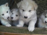 Alaskan Malamute Puppies for sale in Beverly Hills, CA, USA. price: NA
