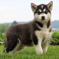 Alaskan Malamute Puppies for sale in Pittsburgh, PA, USA. price: NA