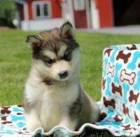 Alaskan Malamute Puppies for sale in Jacksonville, FL, USA. price: NA