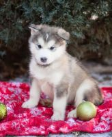 Alaskan Malamute Puppies for sale in Nevada St, Newark, NJ 07102, USA. price: NA