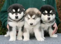 Alaskan Malamute Puppies for sale in Mechanicsburg, PA, USA. price: NA