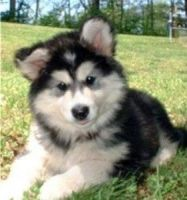 Alaskan Malamute Puppies for sale in Framingham Cir, Pflugerville, TX 78660, USA. price: NA