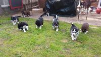 Alaskan Malamute Puppies for sale in Washington Ave, Nutley, NJ 07110, USA. price: NA