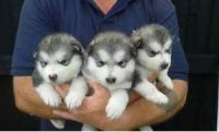 Alaskan Malamute Puppies for sale in New York, NY, USA. price: NA