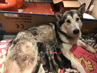 Alaskan Malamute Puppies for sale in S First Colonial Rd, Virginia Beach, VA 23454, USA. price: NA
