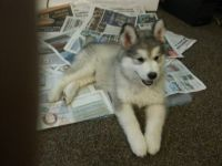 Alaskan Malamute Puppies for sale in Denver, CO 80260, USA. price: NA