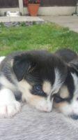Alaskan Malamute Puppies for sale in Edison, NJ, USA. price: NA