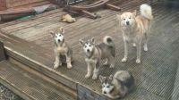 Alaskan Malamute Puppies for sale in Washington, DC, USA. price: NA