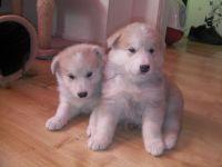 Alaskan Malamute Puppies for sale in Baltimore, MD, USA. price: NA