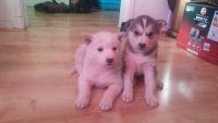 Alaskan Malamute Puppies for sale in Fresno, CA, USA. price: NA