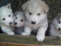 Alaskan Malamute Puppies for sale in Orlando, FL, USA. price: NA