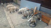 Alaskan Malamute Puppies for sale in Columbus, GA, USA. price: NA