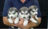 Alaskan Malamute Puppies for sale in Virginia Beach, VA, USA. price: NA