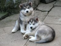 Alaskan Malamute Puppies for sale in Indianapolis, IN, USA. price: NA
