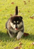 Alaskan Malamute Puppies for sale in Los Angeles, CA, USA. price: NA