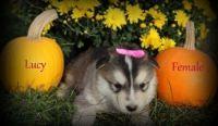 Alaskan Malamute Puppies for sale in Los Angeles, CA 90012, USA. price: NA