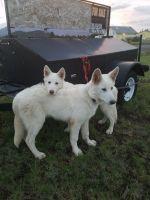 Alaskan Malamute Puppies for sale in Flagstaff, AZ, USA. price: NA