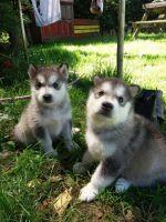 Alaskan Malamute Puppies for sale in Nashville, TN 37246, USA. price: NA